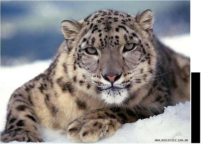 leopardo04