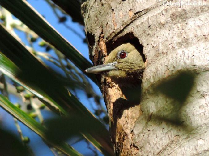 Pica-pau-de-cabeça-amarela (Celeus flavescens) fotografado no ninho no Pq. Ibirapuera em São Paulo/SP em Agosto/14.